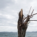Drvored palih tamarisa na Puntamici ~ Slika 305895