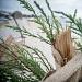 Drvored palih tamarisa na Puntamici ~ Slika 305907