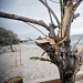Drvored palih tamarisa na Puntamici ~ Slika 305908